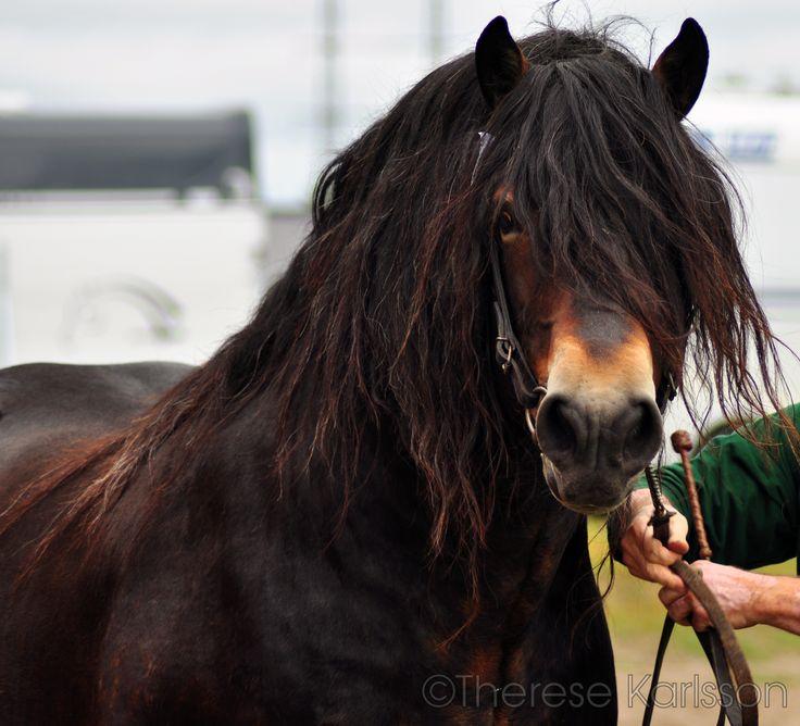 Nordsvensk stallion - Viking