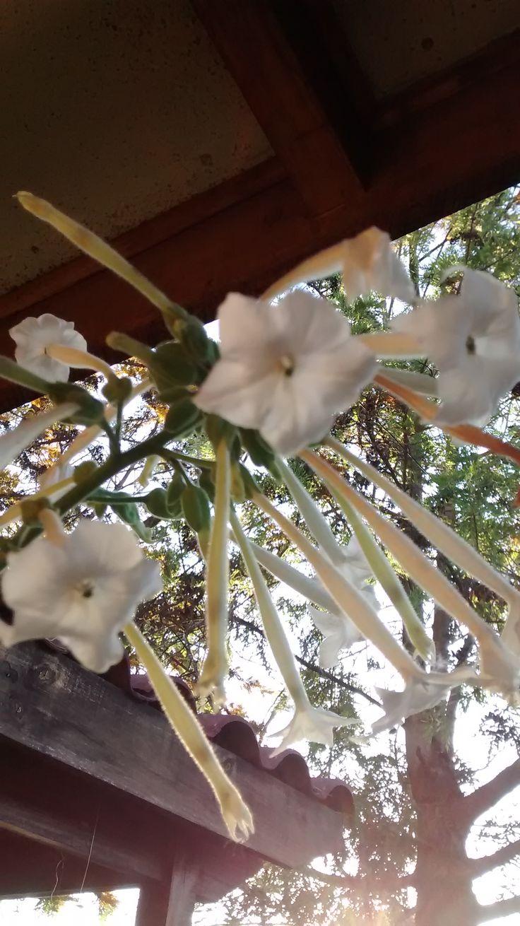 Flor del Tabaco. In my garden.