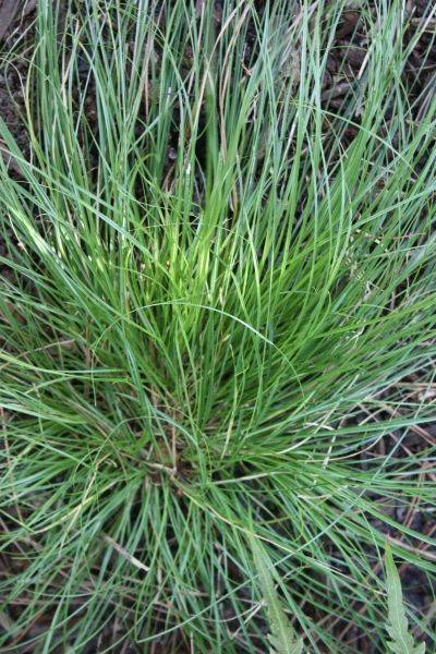 356 best Jardinería Ornamental grasses, shrubs and combinations - carex bronze reflection