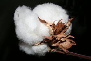 How to Grow Cotton Indoors.  I have some cotton seeds I'm going to plant in a container indoors.  Can't wait to try it!  :-)