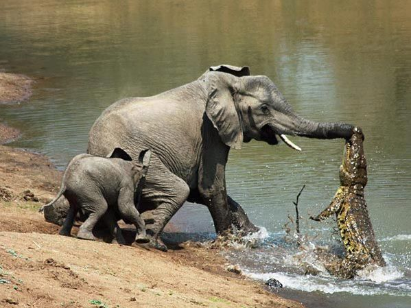 crocodile fishingAnimal Pictures, Mothers, Nature, Animal Photography, National Geographic, Crocodile, Elephant, National Parks, Alligators