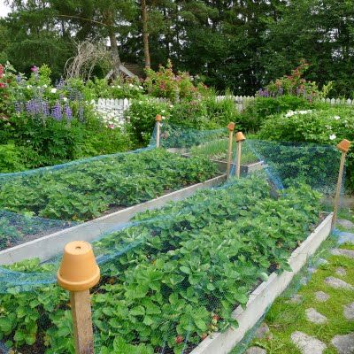 Strawberries Protected from the Birds... This may be what new strawberry patch needs to look like