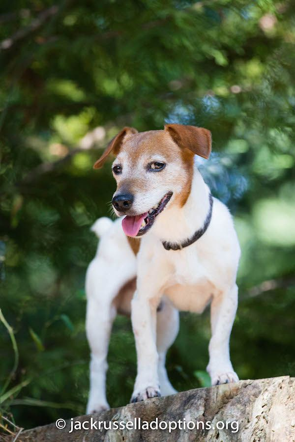 les 7 meilleures images du tableau jack russel terrier sur pinterest groupe des terriers jack. Black Bedroom Furniture Sets. Home Design Ideas