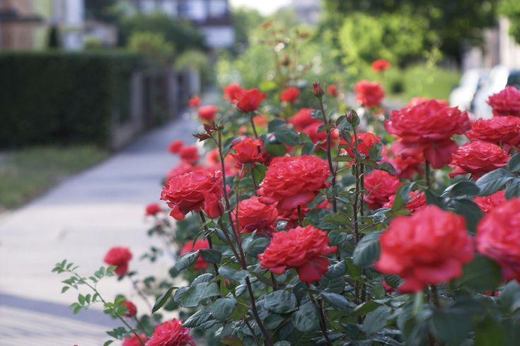 How and When to Plant Roses.