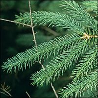 White Spruce leaf (needles)