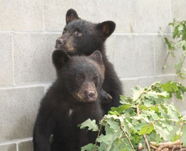 Veri aMICI: Canada, guardia forestale si rifiuta di uccidere cuccioli di orso: sospesa senza paga