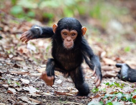 A baby chimp is seen taking its first steps away from its mother. Photographer Konrad Wothe captured the chimp's first brave steps towards his camera in Mahale Mountains National Park, Tanzania, Africa.