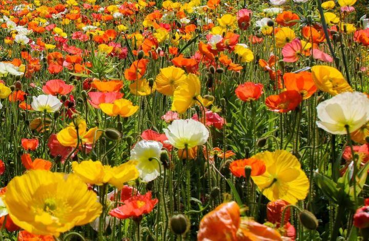 Poppies -- August birth flower, poppy, The Old Farmer's Almanac -- 8-1-17
