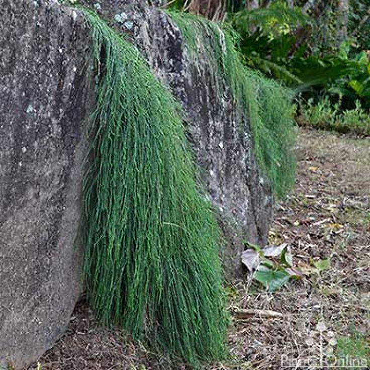 Casuarina glauca 'Cousin It' Australian plants, Bush