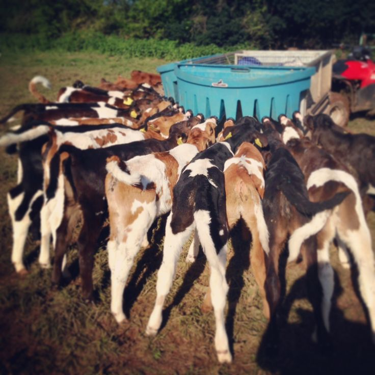 Milk bar is open! Feeding the calves at Somerset Yurts #dairy #farm #cows #calves #countryside