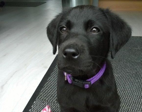 Een voorproefje van het dagboek van Amy. Zij wil later geleidehond worden. Steun Amy door haar te adopteren voor 7.50 per maand en leef mee met al haar belevenissen.