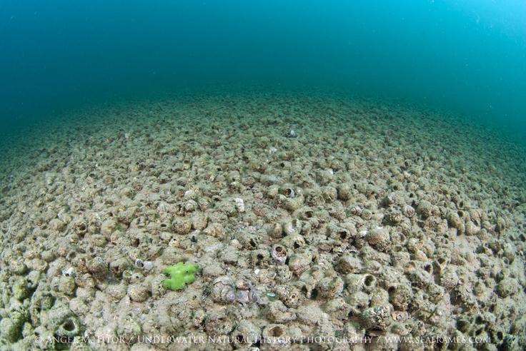 Shell dweller natural habitat- Lake tanganyika - shell bed - African cichlid