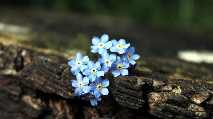 Маленькие голубые цветы на камне