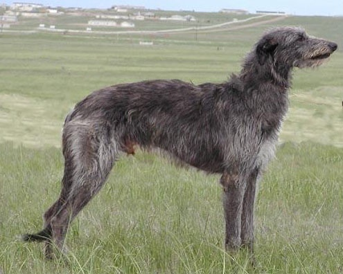 The Scottish Deerhound is a breed of hound (a sighthound), once bred to hunt the Red Deer by coursing. They would have been kept by the Scots and Picts. In outward appearance, the Scottish Deerhound is similar to the Greyhound, but larger and more heavily boned. The Deerhound is closely related to the Irish Wolfhound and was the main contributor to the recovery of that breed when it was re-created at the end of the 19th century.