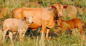 The Cattle Site - Breeds - Tuli - The Cattle Site