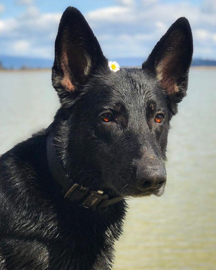 full black german shepherd - 736×920