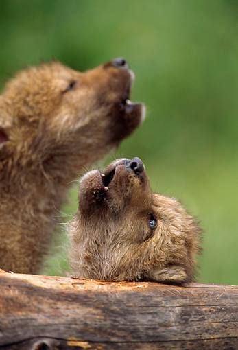 Wolf cubs.
