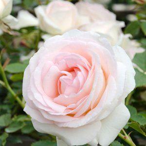 CLIMBING ROSE - BLUSHING PIERRE DE RONSARD - Garden Express