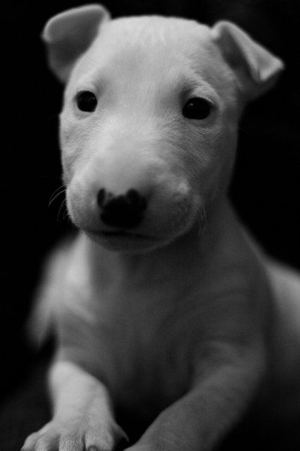 Fancy - Bull Terrier Love