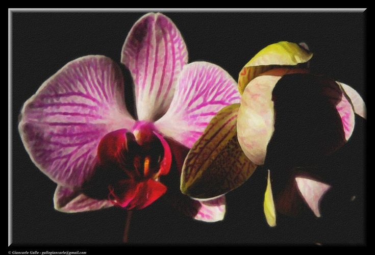 Orchids by Giancarlo Gallo