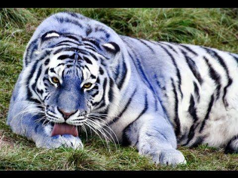 Самые красивые и необычные виды тигров. Амурский тигр, голубой тигр, золотой тигр и др. - YouTube