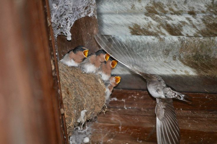 Mama Swallow feeding her babies at my backdoor by Kristin Hyde