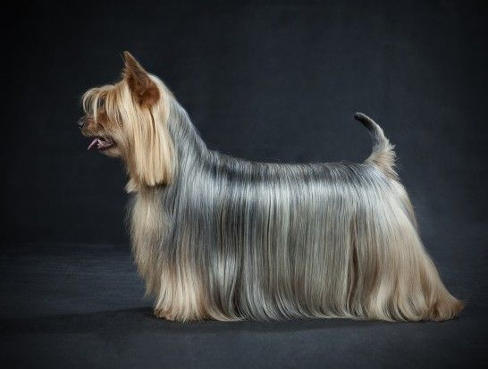 Is an Australian silky terrier the right choice of dog for you? | Pets4Homes