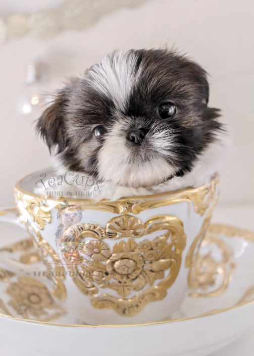 Shih Tzu Puppy For Sale 337 Teacup Puppies Teacupfrenchbulldog
