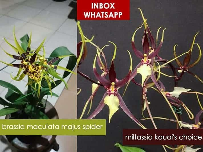 Nama Tanaman Anggrek Variant Brassia Asal Bibit Bibit Botol