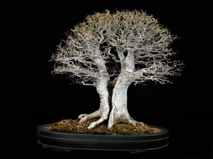 Chinese hackberry, this 65-year-old in Japanese Tokonmae ware, is a medium-sized tree that has smooth, light gray bark. The fine twigs make this tree an excellent specimen for training into broom-style bonsai. Photograph by Jonathan Singer