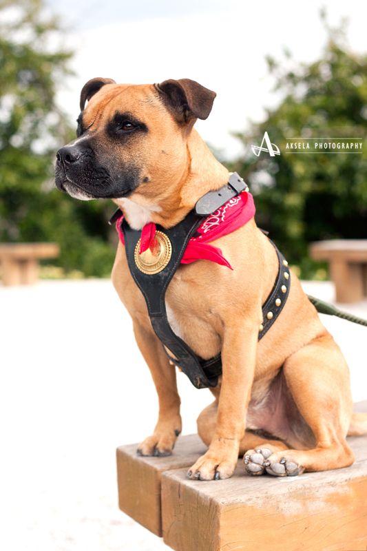 Staffie, stafordshire bull terrier