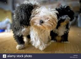 Image result for about the bolonka