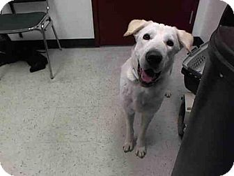 Mesa, AZ - Labrador Retriever/Siberian Husky Mix. Meet SNOWBALL, a dog for adoption. http://www.adoptapet.com/pet/17075818-mesa-arizona-labrador-retriever-mix