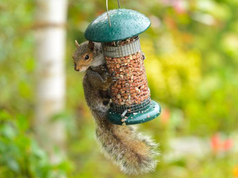 To keep squirrels from taking over a bird feeder, spray a generous amount of WD-40 on top of the feeder. The pesky squirrels will slide right off.-13 uses for WD-40