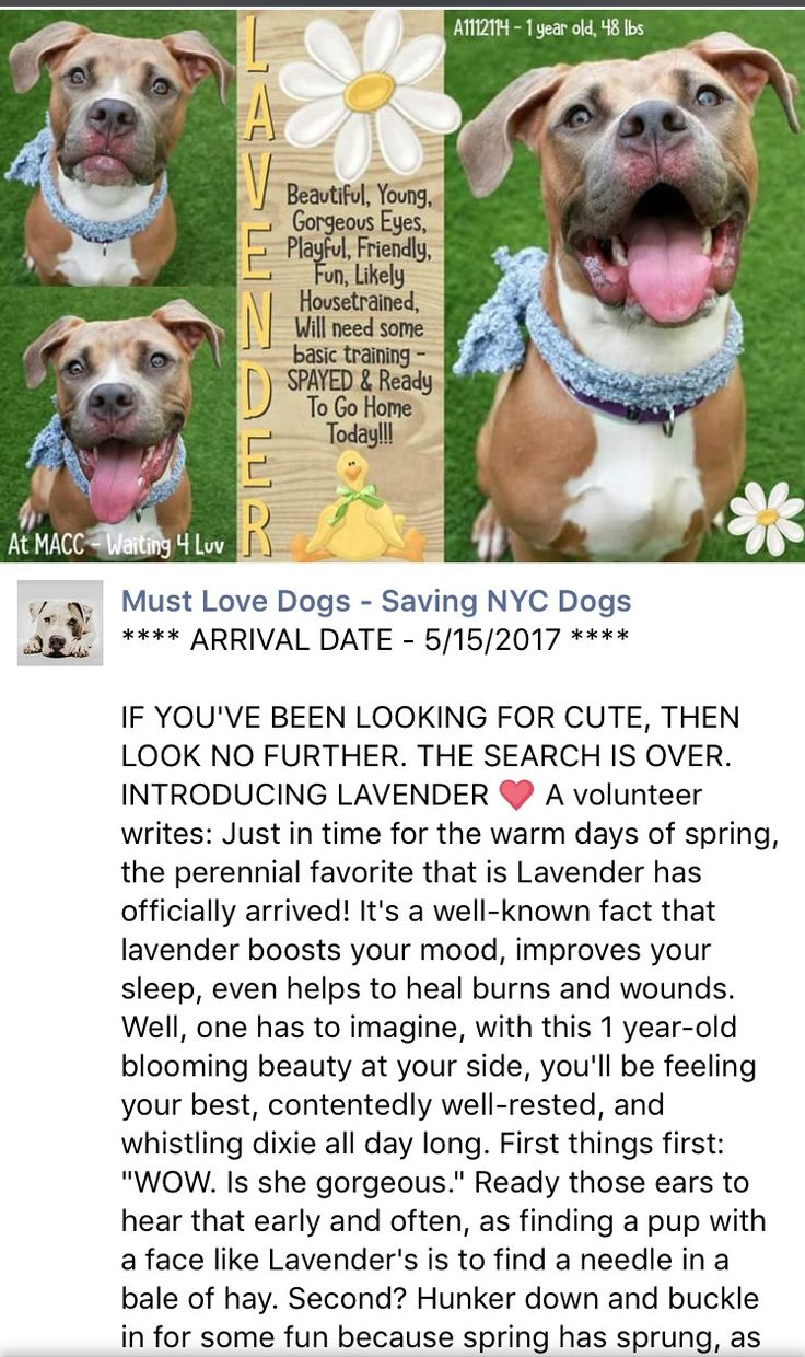 SAFE❤️❤️ 5/26/17 BY REBOUND HOUNDS❤️ THANK YOU❤️ /ij Manhattan Center My name is LAVENDER. My Animal ID # is A1112114. I am a spayed female tan and white am pit bull ter mix. The shelter thinks I am about 1 YEAR I came in the shelter as a STRAY on 05/15/2017 from NY 10452, owner surrender reason stated was STRAY. http://nycdogs.urgentpodr.org/lavendar-a1112114/