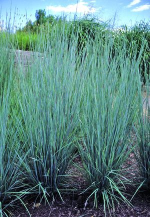 Little Bluestem to be planted within east and west planters for added privacy and to soften view shed of neighboring properties.