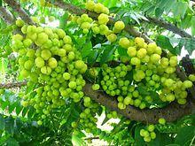Phyllanthus acidus - Otaheite gooseberry