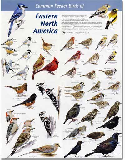 Common North American Birds Identification | of Eastern N ...