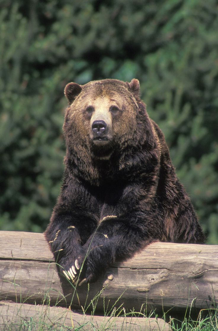 445 best bears images on pinterest animals bear cubs and baby