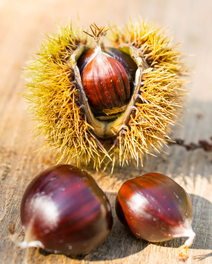 chestnut and fall