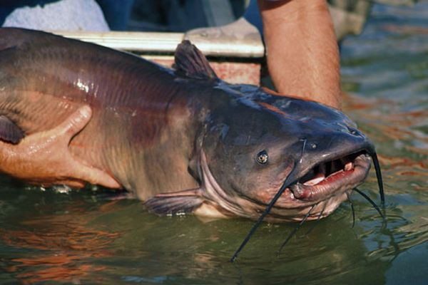 25 best ideas about big catfish on pinterest bass for Catfish fishing gear