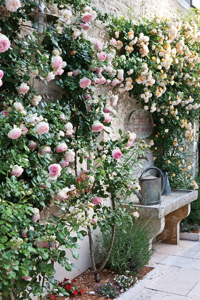 climbing Roses on a wall & somewhere to sit - is there anything lovelier ?