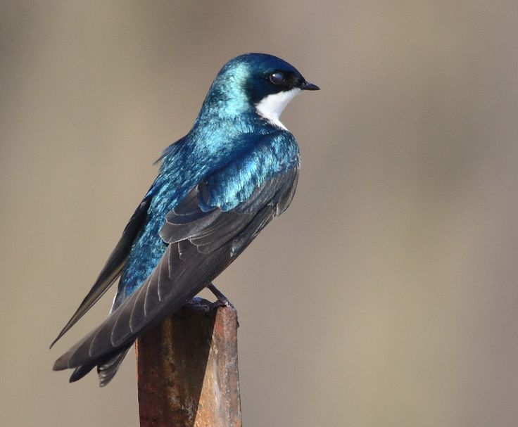 Tree Swallow foster parrots