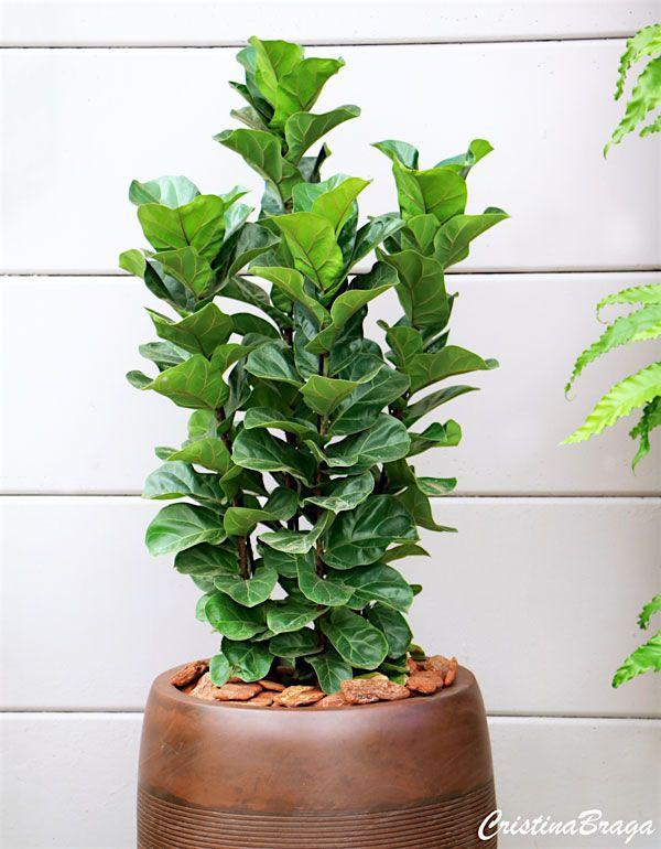 Figueira Lira – Ficus lyrata - Árvore com folhas verde-escuras, brilhantes, coriáceas ...