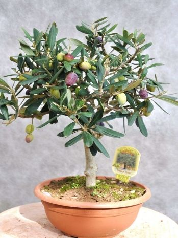 14 best images about gardening on pinterest bonsai trees for Growing olive tree indoors