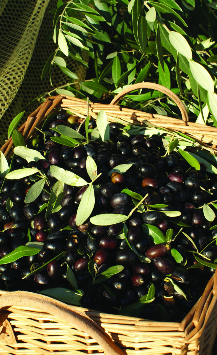 Olives collected close to the birthplace of Leonardi da Vinci. At the south side of Montalbano we have approx. 100 olive trees from which we get an exquisite olive oil. This i one of the main reasons why we love to have a house in Tuscany :-)