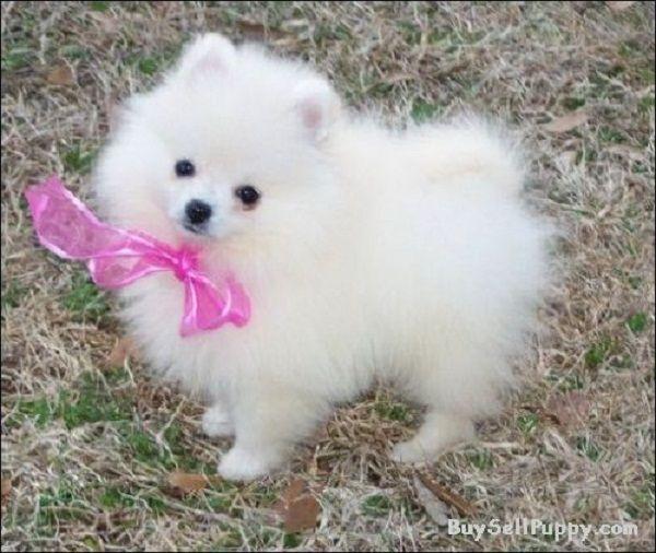 Pomeranian In Houston