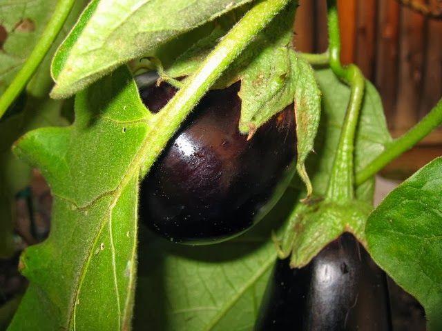 Mike The Gardener Enterprises, LLC: How To Grow Eggplant