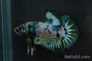 Ikan Cupang Plakat Marbel PK11, warna dominan putih marbel, kondisi ikan sehat, sirip ikan balance, sisik mengkilap, badan proporsional, dan bermental baik. #ikan #cupang #plakat #ikancupang #bettafish