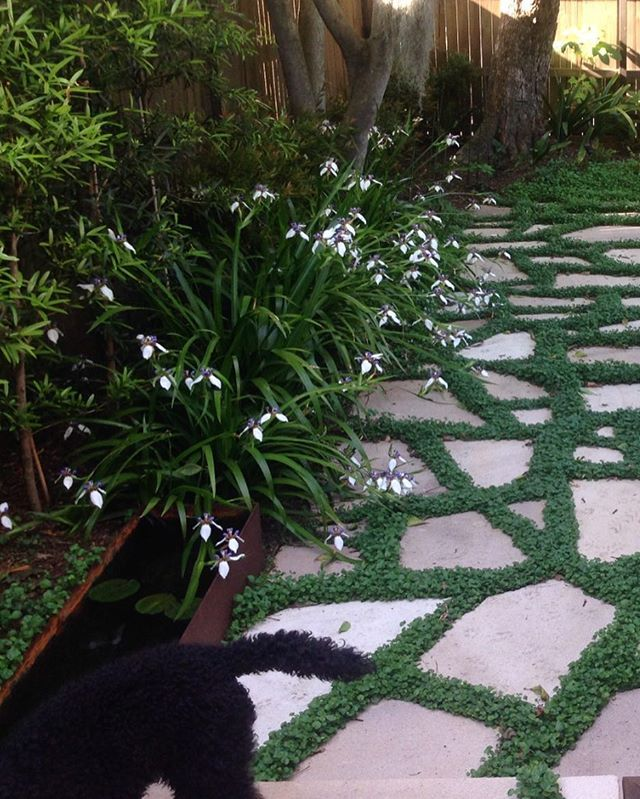Neomaricas in flower, creating a beautiful soft edge to the sandstone & Dichondra crazy paving :: Petersham.